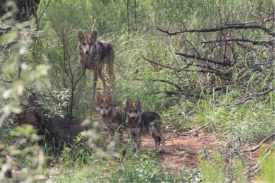 Lobo gris mexicano se aleja de la extinción