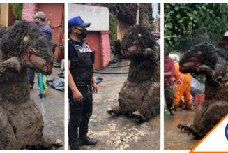 #Viral: Hallan rata gigante en drenaje de la CDMX… ¡Visit México!