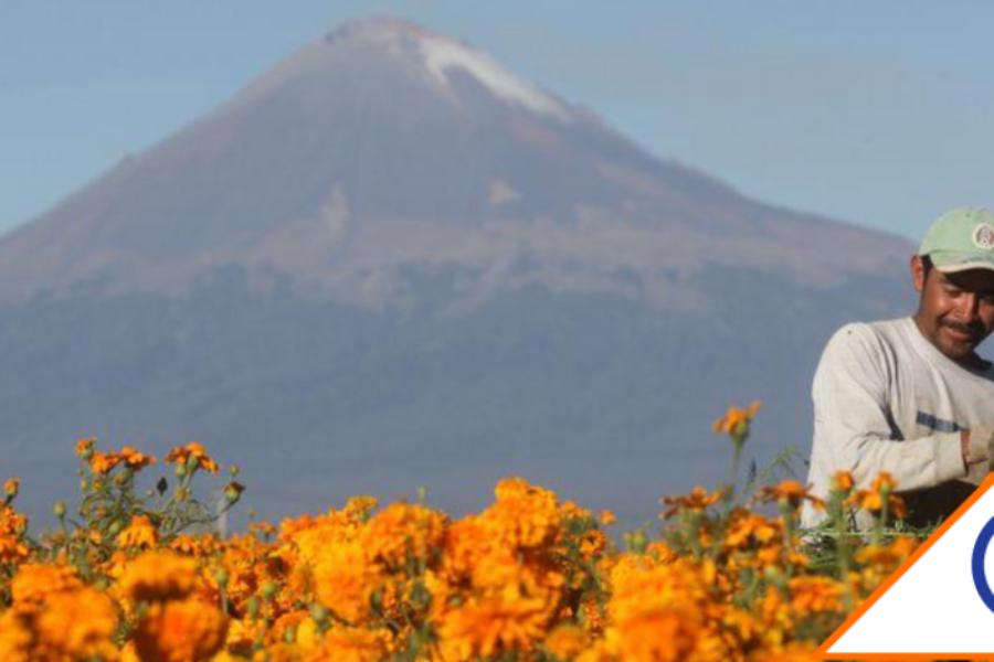 #Covid19: Se espanta el Día de Muertos, caen ventas y cultivos de cempasúchil 50%