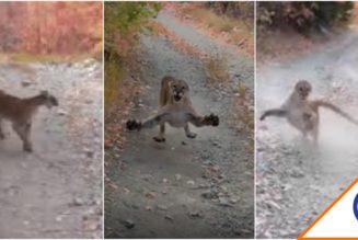 #Viral: Excursionista se salvó de milagro del ataque de un puma… ¡Lo grabó todo!