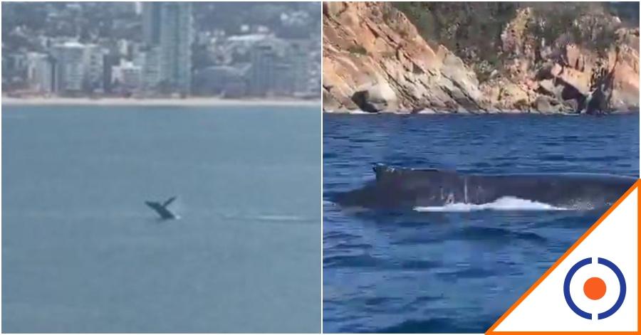 #Viral: Ballenas aparecen en costas de Acapulco… ¡Bendita naturaleza!